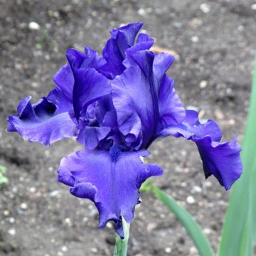 purple iris against gray ground