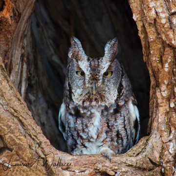 Laura Wallace's photo of a great horned owl